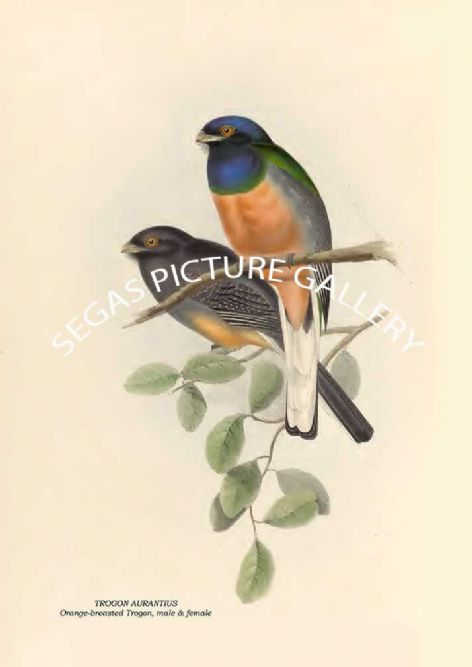 Fine art print of the TROGON AURANTIUS - Orange-breasted Trogon, male & female by John Gould (1835 -38)